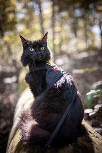 black cat on a leash