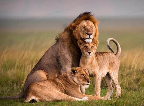 Lion family posing in open plains in Masai Mara NR