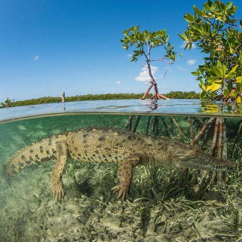 Croc mangroves