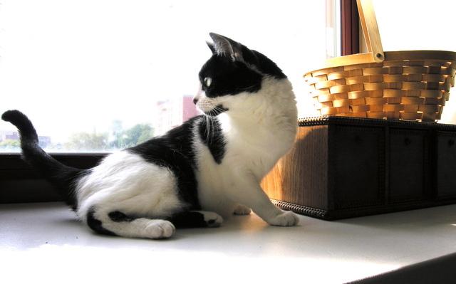 menanggulangi kutu kucing