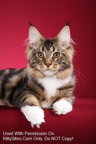 MTNest Maine Coons