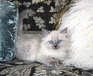 Oxsana Siberian Cats