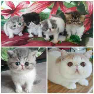 Shiningcats Cattery