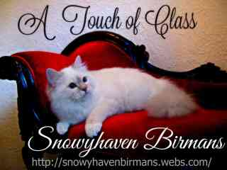 SnowyHaven Birmans