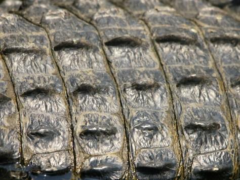 Alligator_mississipiensis_(skin).jpg
