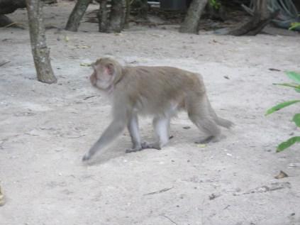 Monkey prowling on the beach