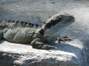 Endangered water dragon