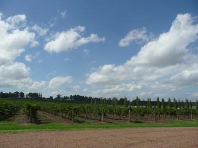 Rows and rows of Syrah grapes