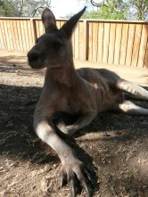 Kangaroo - up close and personal