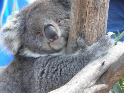 Koala resting in the tree