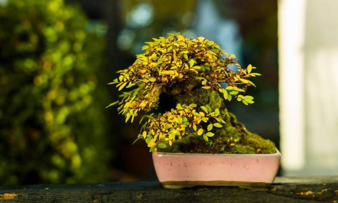 olmo-bonsai