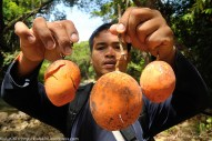 Rushdi Lusi menunjukkan buah Bungub yang dijumpainya ditebing Sungai Mantaranau Kiulu. Buah Liar ini banyak didapati disepanjang sungai dan rasanya manis manis kelat.