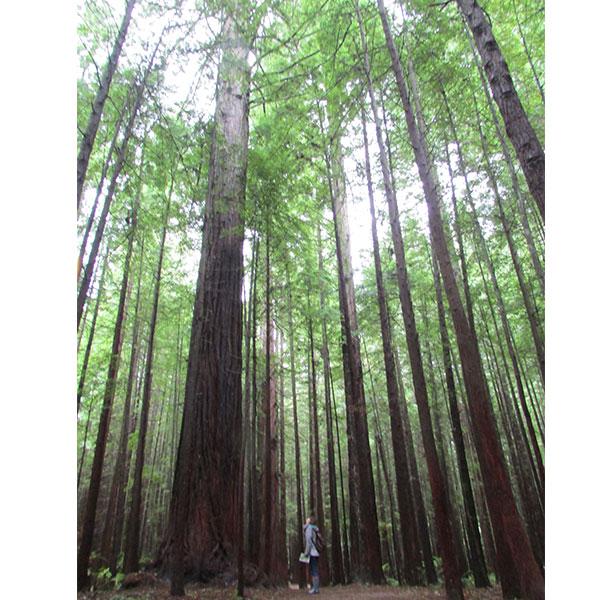 Redwoods Rotorua