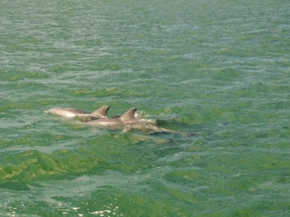 Dolphins near 10000 islands
