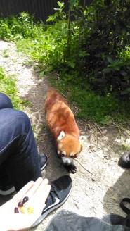 7-jan-red-panda13