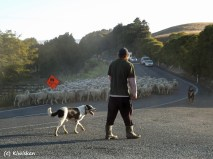 man and dogs