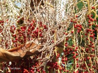 palm berries4