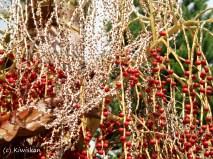 palm berries5