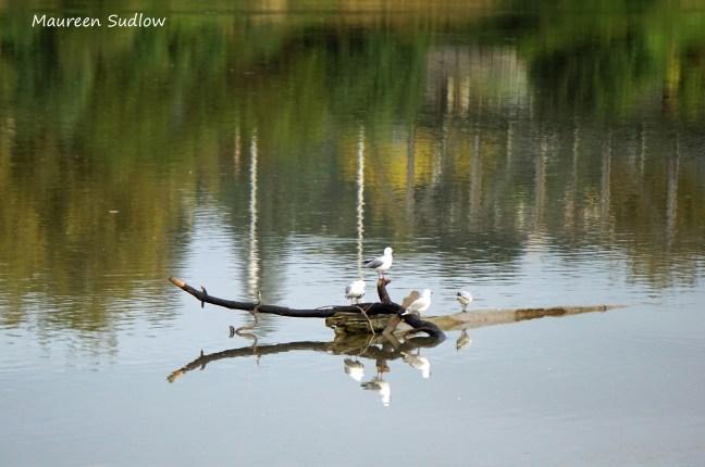 gull reflections