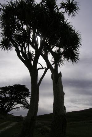 web cabbage tree