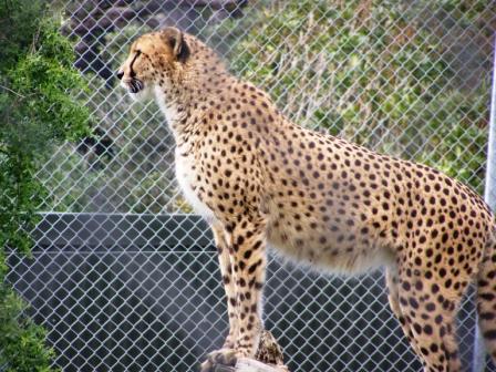 big cats web