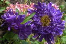 China Aster blue
