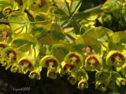 Euphorbia 'Ascot Rainbow' 2015