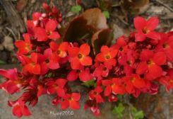 Kalanchoe blossfeldiana red Oct. 2015