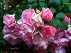 Pretty Pink Flower Carpet Rose