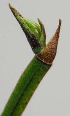 Psychopsis papilio - New flower buds on old stem