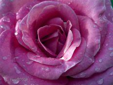 Rose Large Pink noid