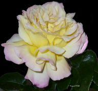 Rose 'Peace' - pretty flower