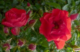 Rose - Red Flower Carpet