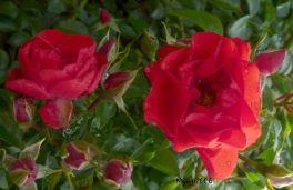 Rose - Red Flower Carpet