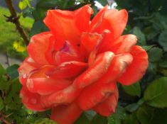 Rose - Remember Me