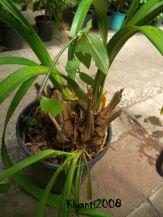 Anggrek Cymbidium ditumbuhi tanaman liar dan umbi lama tanpa daun mengering