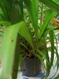 Anggrek Cymbidium yang banya ditumbuhi 'Spider PLant'
