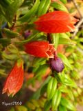 Himalayan Lantern Flowers