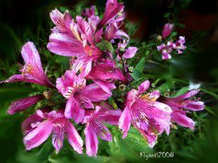 Peruvian Lily - Pink Alstroemeria