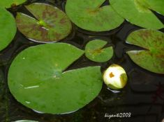 Water Lily early 2015
