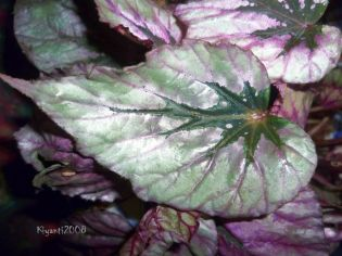 Begonia rex - colourful