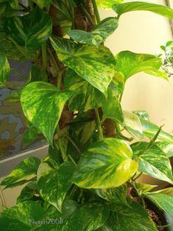 Golden Pothos - Epipremnum aureum - Devil's Ivy