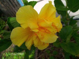 Hibiscus - pretty yellow