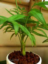 Parlour Palm - Chamaedorea Elegans - Slow growing