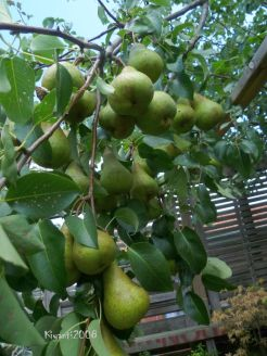 Pears - Beurre Bosc variety