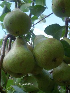 Pears in the garden Jan. 2016