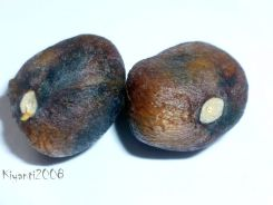 Camellia sasanqua 'Yuletide' - Seeds