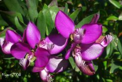 Sweet Pea Bush - Polygala myrtifolia Flowers