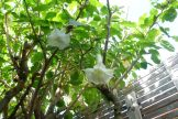 Brugmansia - Angel's Trumpet reaching for the sky
