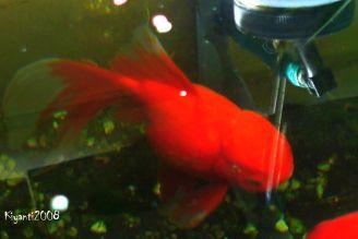 Goldfish July 2016